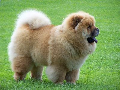 Chow Chow -Τσοου Τσοου φυλη ρατσα σκυλου