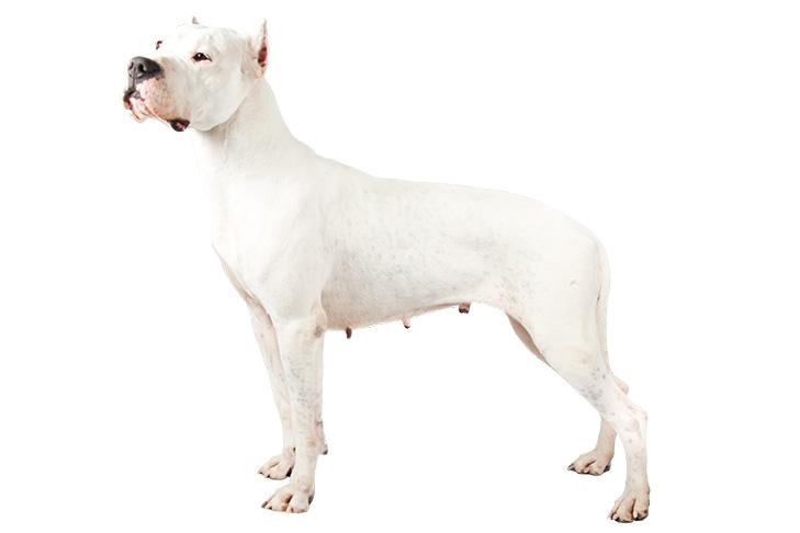 Dogo Argentino - Ντόγκο Αρτζεντίνο ( φυλές - ράτσες σκύλου )