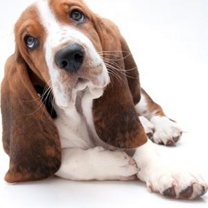 Basset Hound -Μπασετ χαουντ (φυλη σκύλου)