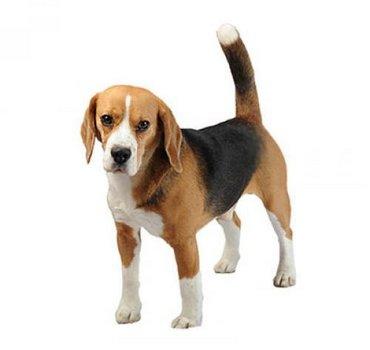 Beagle - Μπιγκλ (φυλη ρατσα σκυλου)