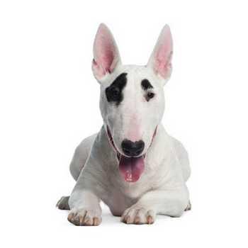 Bull Terrier - Μπουλ Τεριε (φυλή σκύλου)