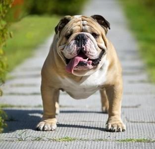 English Bulldog - Αγγλικο Μπουλντογκ ( φυλή - ράτσα σκύλου )