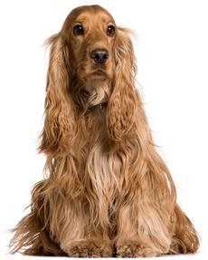 Coker Spaniel κοκερ (φυλες ρατσες σκυλων)
