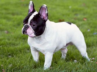 French Bulldog - Γαλλικό μπουλντόγκ ( φυλή σκύλου )