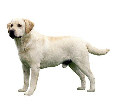 labrador Retriver λαμπραντορ (ρατσες σκυλου - φυλες)